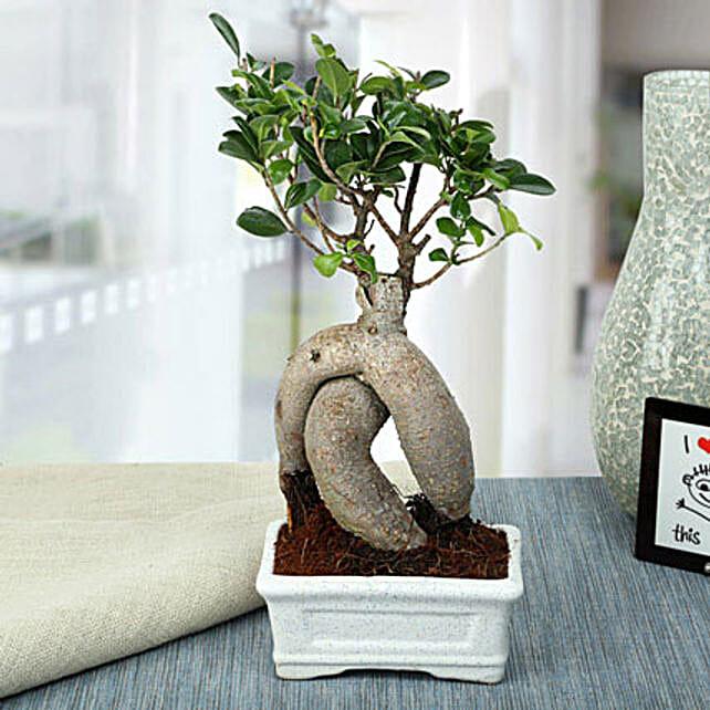 Splendid Ficus Ginseng Bonsai Plant