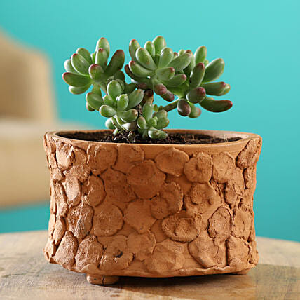 Stonecrop Plant In Patch Design Small Terracotta Pot