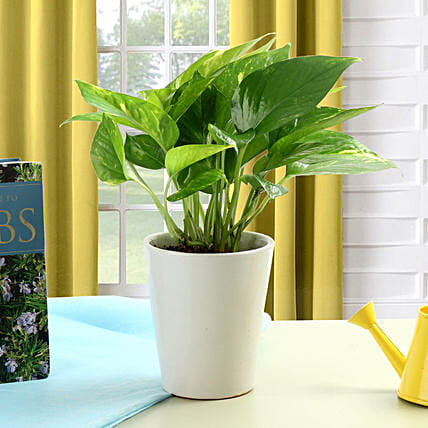 Money plant in a white vase:Send Fathers Day Gifts to Mumbai