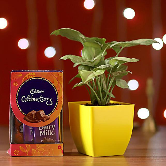 Syngonium & Cadbury Celebrations Box