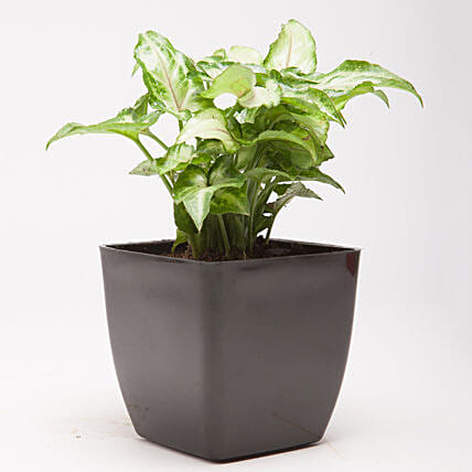 syngonium plant in unique pot