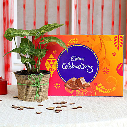 Syngonium Plant and Cadbury Chocolate Combo  for valentine