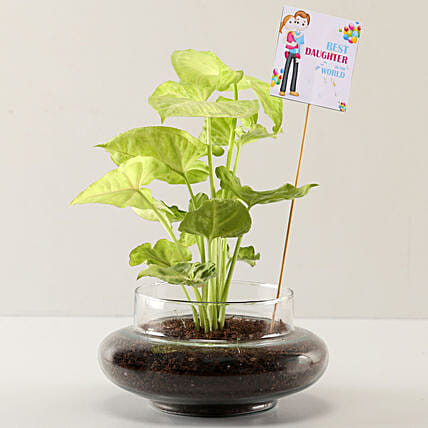 Online Syngonium Plant For Daughters Day