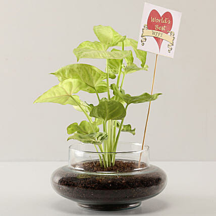 plant for karwa chauth:Buy Plants  Bangalore
