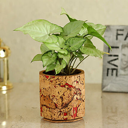 Syngonium Plant In  Pot Online