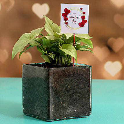 Syngonium Plant In Glass Vase & V-Day Tag Hand Delivery
