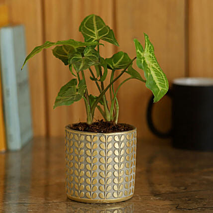 Syngonium Plant in Golden Ceramic Pot:Ceramic Planters