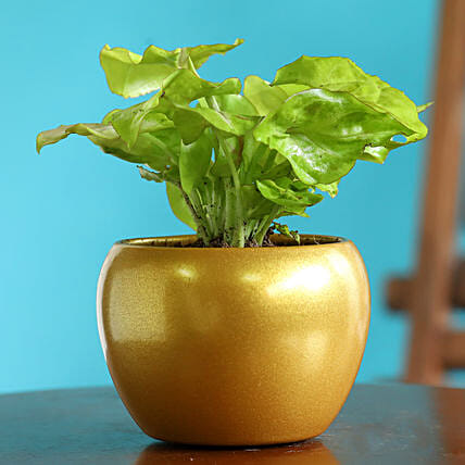 Syngonium Plant In Golden Teak Table Top Pot