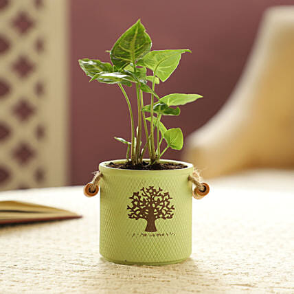 Syngonium Plant In Green Ceramic Pot