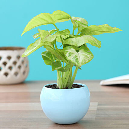 Syngonium in Metal Pot:Indoor Plants