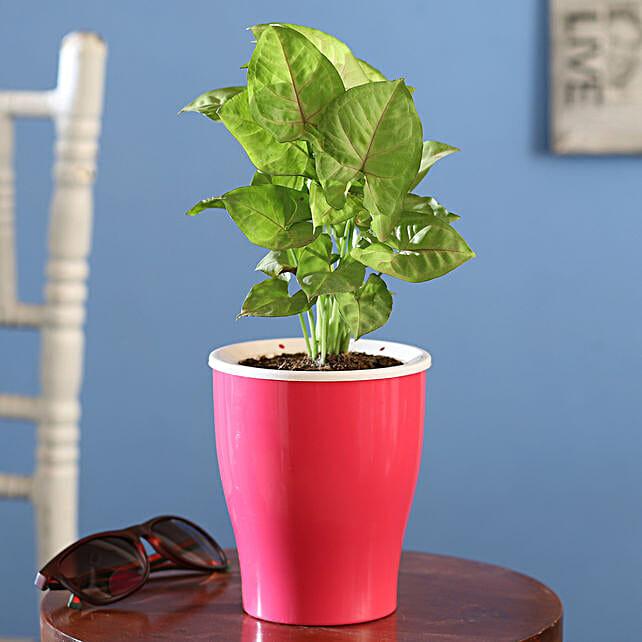 Buy Online Syngonium Plant