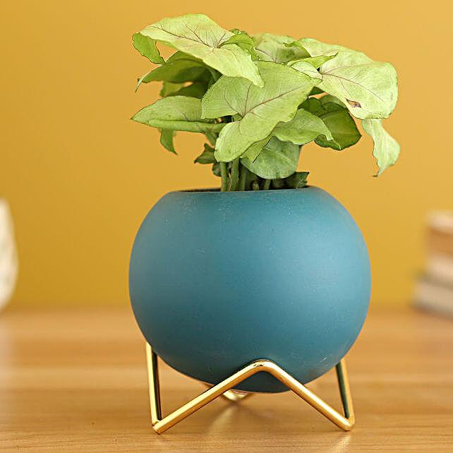 Syngonium Plant In Round Ceramic Planter