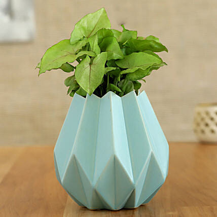 Syngonium Plant In Sky Blue Conical Pot