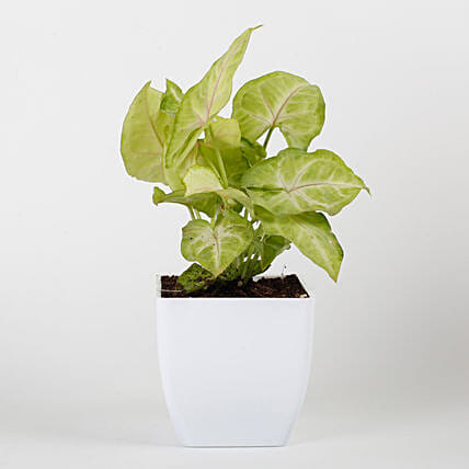 Syngonium Plant in White Imported Plastic Pot