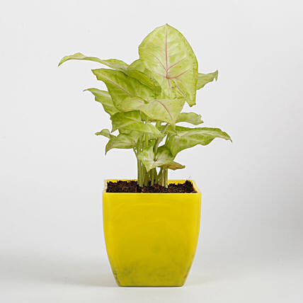 Syngonium Plant in Yellow Imported Plastic Pot