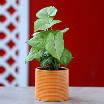 Online Syngonium Plant In Pipe Design Pot