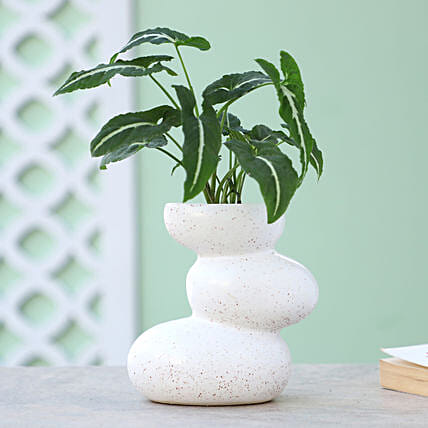 Online Syngonium Plant In Layered Ceramic Pot