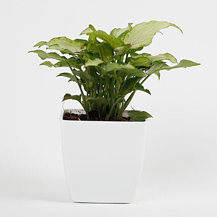 attractive syngonium plant:Office Desk Plants