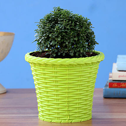 Table Kamini Plant In Green Shining Plastic Pot