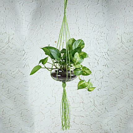 Terrarium Hanging Money Plant:Terrariums Plants
