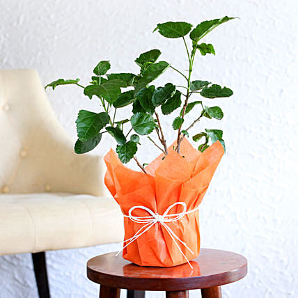 Hibiscus plant in a vase:Flowering Plants For Valentine's Day