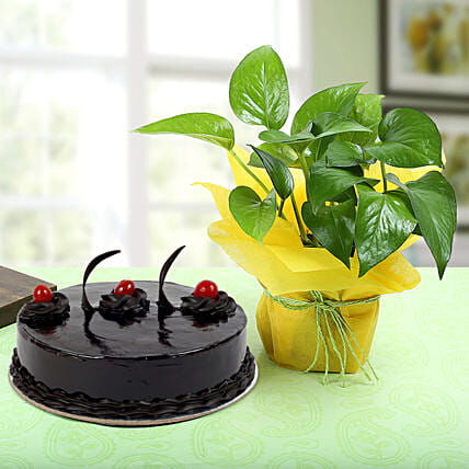 Truffle Cake with Money tree:Cakes N Plants