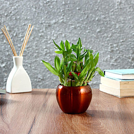 Bamboo Plant in Gift Pot:Buy Indoor Plants