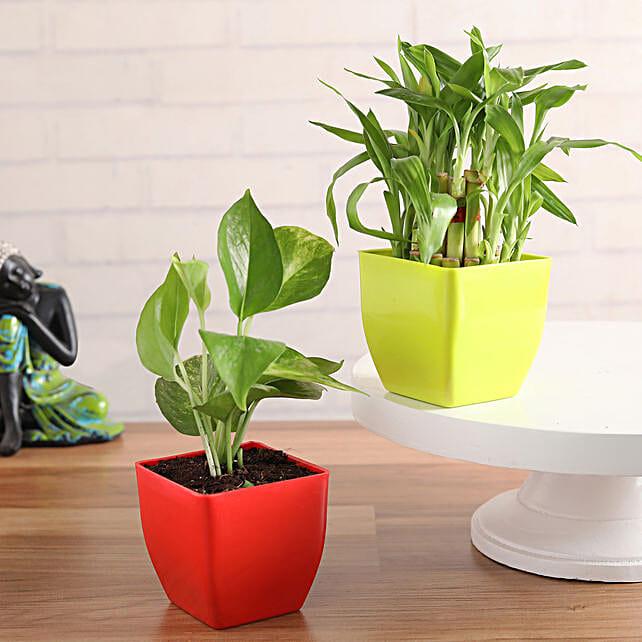 Money Plant & Lucky Bamboo Combo