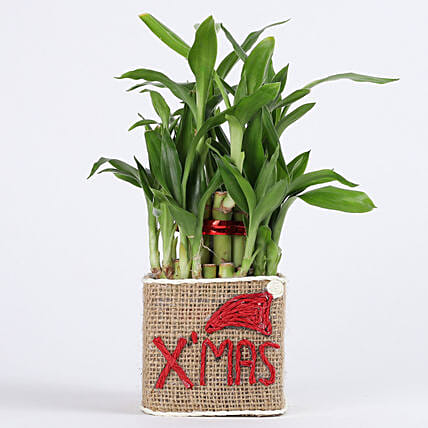 bamboo plant for Christmas celebration