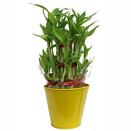 3 layer lucky bamboo By FNP