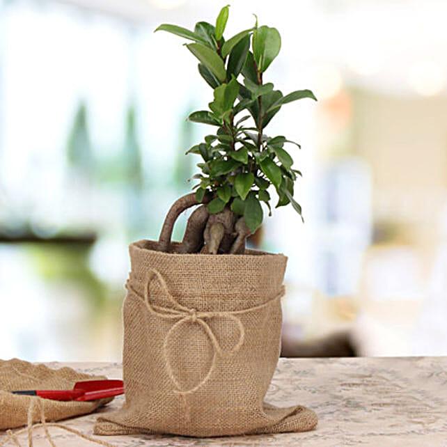 Ficus microcarpa plant in a pot