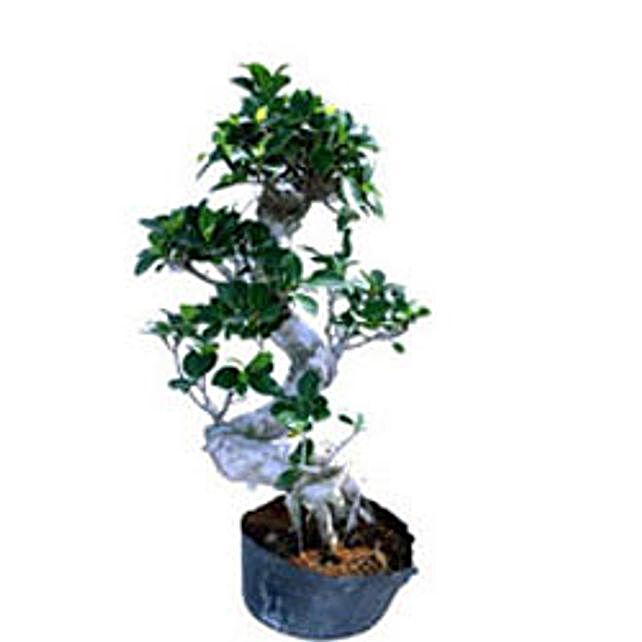 Bonsai Ficus S Shape By FNP