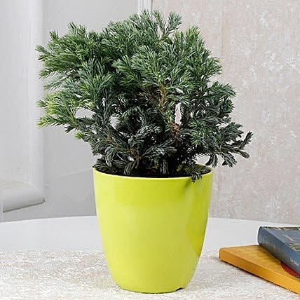 Bushy plant in green pot