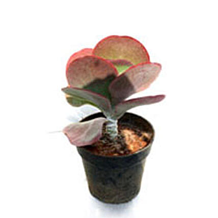 Chapati Cactus Plant By FNP