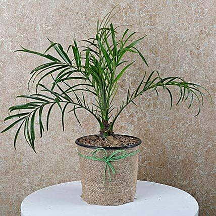 Decorative Phoenix Palm Plant
