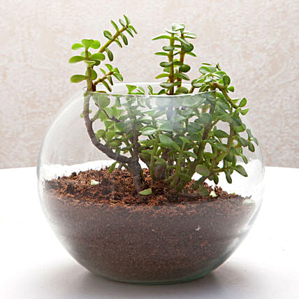 Jade plant in a round glass vase plants gifts:Good Luck Plants for Anniversary