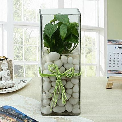 White money plant in a large round glass vase with white pebbles