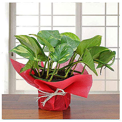 Fathers Day Spl Lovely Money Plant By FNP