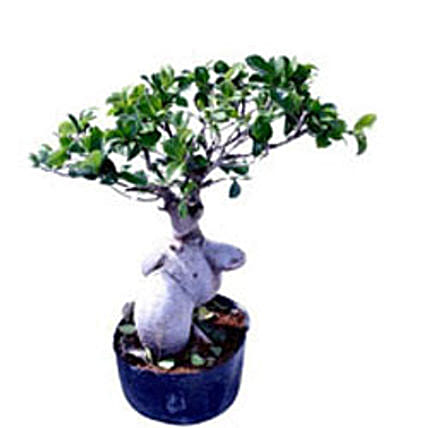 Ficus Microcarpa 400gm By FNP