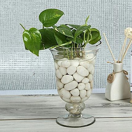 Money plant in a samadhan glass vase with white pebbles
