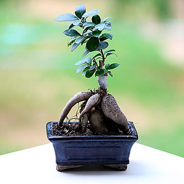 A ficus microcarpa plant in a pot