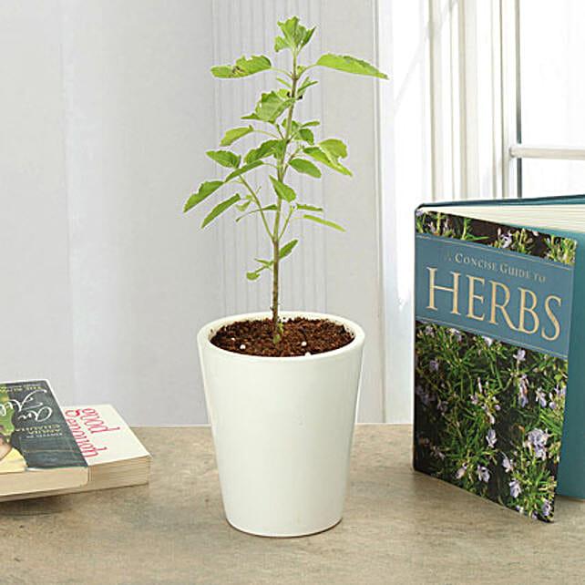Green leaf tulsi plant in a ceramic vase