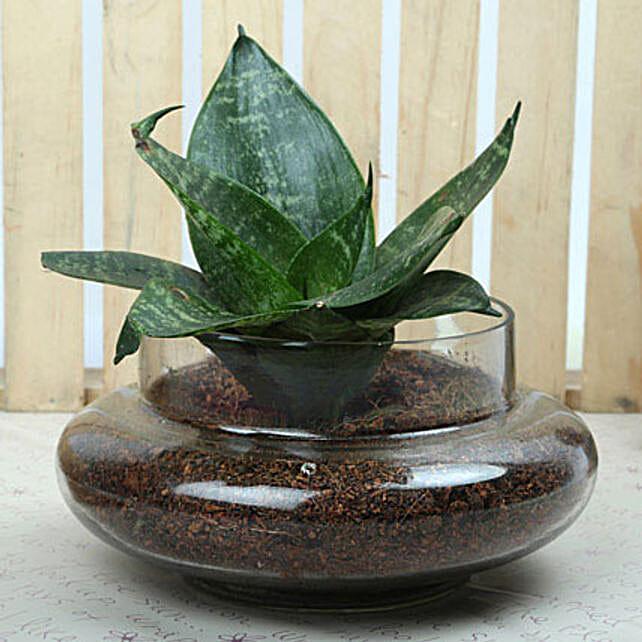 Sansevieria trifasciata plant in a round glass potpourri vase