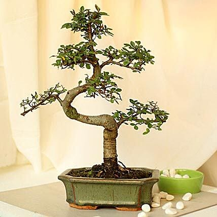 Elm s shaped bonsai plant with ceramic vase