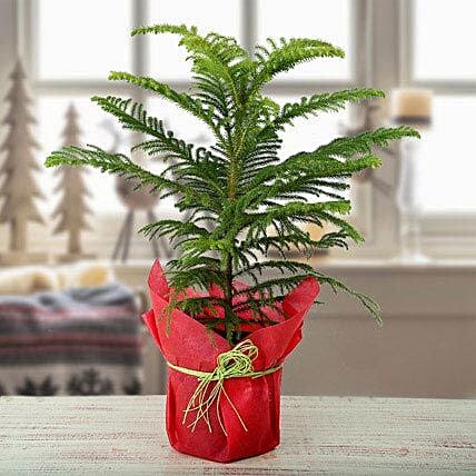 Christmas plant in a plastic pot:Christmas Tree