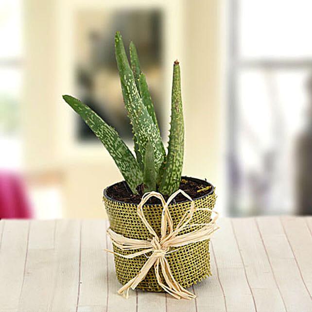 Aloe Care-Alovera:Outdoor Plants