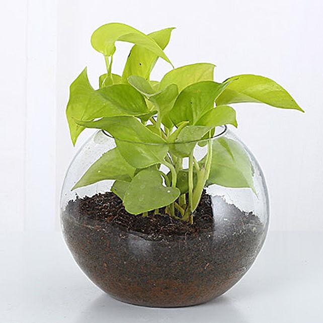 Good Luck Money Plant:Money Tree Plant Delivery