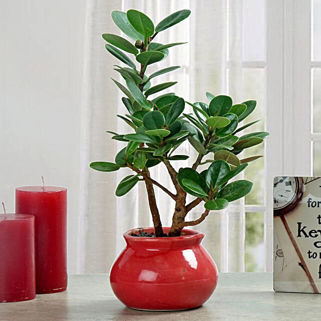 Ficus dwarf plant in a planter:Sagittarians Zodiac Gifts