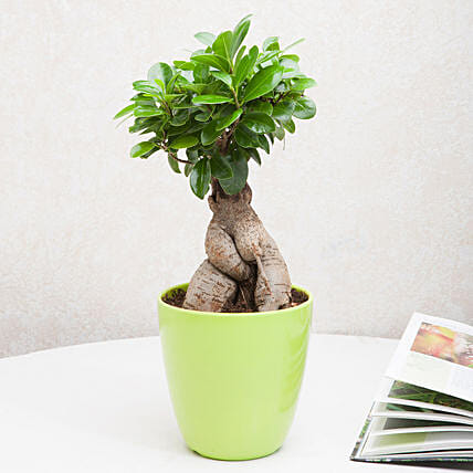 Ficus ginseng bonsai plant in an off white vase