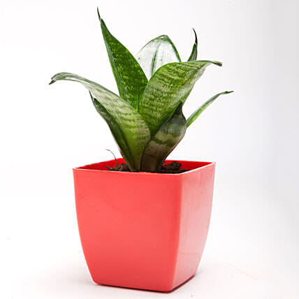 Green Sansevieria Plant in Red Plastic Pot